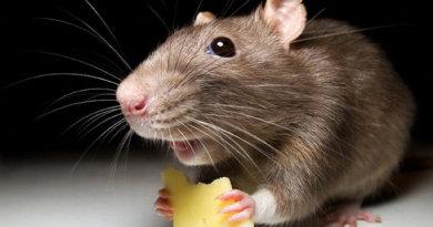 Отпугиватель крыс и мышей какой лучше? Рейтинг 2020-2019. Отзывы