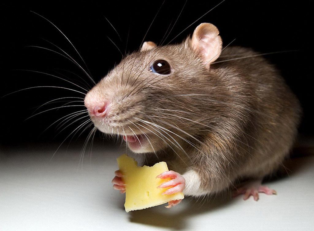 Отпугиватель крыс и мышей какой лучше? Рейтинг 2018. ТОП 15